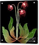 Pitcher Plant Flowers, X-ray Acrylic Print