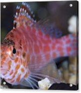 Pixy Hawkfish, Kimbe Bay, Papua New Acrylic Print
