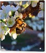 Plum Full Of Bees Acrylic Print
