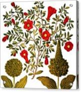 Pomegranate, 1613 Acrylic Print