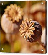 Poopy Seed Pod... Acrylic Print