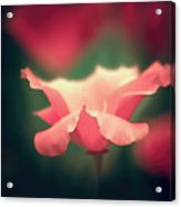 Poppy Intense Acrylic Print