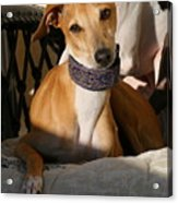 Portrait Of An Italian Greyhound Acrylic Print