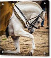 Portugal Lusitano Horse Acrylic Print