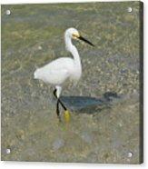 Posing White Egret Bird Acrylic Print