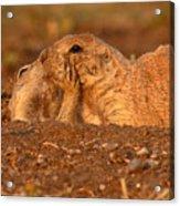 Prairie Dog Tender Sunset Kiss Acrylic Print