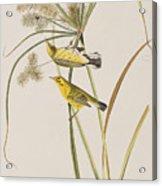 Prairie Warbler Acrylic Print