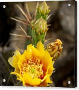 Prickly Bloom Acrylic Print