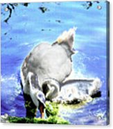 Psychedelic Mute Swan And Cygnet Feeding Acrylic Print