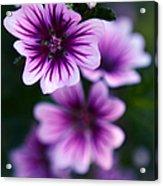 Purple Beauties Acrylic Print