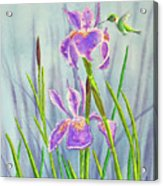 Purple Dutch Iris And Hummer Acrylic Print