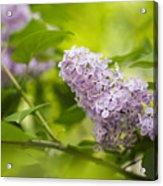 Purple Lilac Acrylic Print