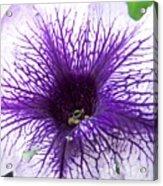 Purple Passion Acrylic Print