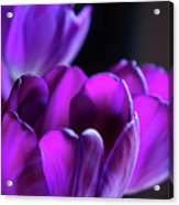 Purple Tulips 1 Acrylic Print