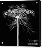 Queen Annes Lace, X-ray Acrylic Print
