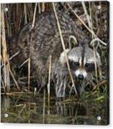 Raccoon Fishing Acrylic Print