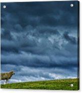 Rain Storm Ewe And Lamb Acrylic Print