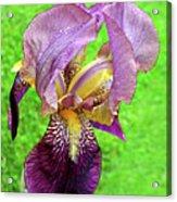 Raindrops On Purple And Yellow Iris Acrylic Print