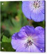 Raindrops On Purple Acrylic Print