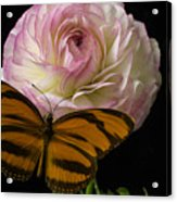Ranunculus And Butterfly Acrylic Print