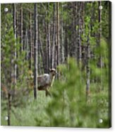 Rare And Wild. Finnish Forest Reindeer Acrylic Print