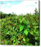 Raspberry Fields 2  Acrylic Print