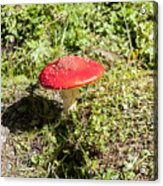 Red And White Potted Toadstool Acrylic Print