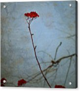 Red Berries Blue Sky Acrylic Print