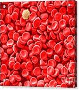 Red Blood Cells, Sem Acrylic Print