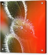 Red Corn Poppy Bud And Red Dots Acrylic Print