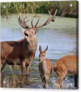 Red Deer In Bushy Park London Acrylic Print