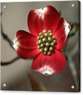 Red Dogwood Acrylic Print