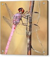 Red Dragonfly Portrait Acrylic Print