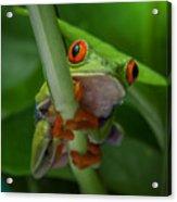 Red Eyed Tree Frog. Acrylic Print