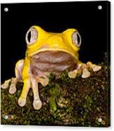 Red-eyed Treefrog, Xanthic Form Acrylic Print