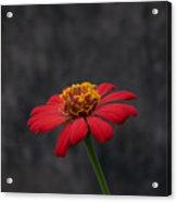 Red Flower 1 Acrylic Print
