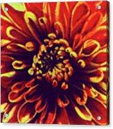 Red Flower 92 Acrylic Print