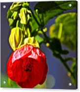 Scarlet Mallow At Pilgrim Place In Claremont-california- Acrylic Print