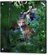 Red Fox Kit Acrylic Print