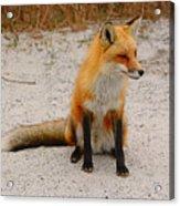 Red Fox 3 Acrylic Print