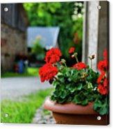 Red Garden Geranium Flowers In Pot , Close Up Shot / Geranium Fl Acrylic Print