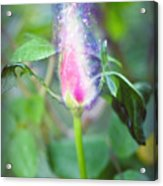 Red Garden Rose Bud Acrylic Print
