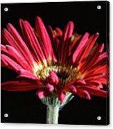 Red Gerbera 1 Acrylic Print