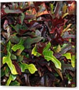 Red Green  Leaves Acrylic Print