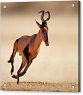 Red Hartebeest Running Acrylic Print