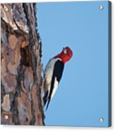 Red Headed Woodpecker Acrylic Print