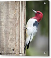 Red-headed Woodpecker Acrylic Print