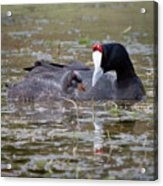 Red Knobbed Coot Acrylic Print