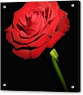 Red Rose On The Black Background  Acrylic Print