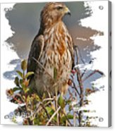 Red-shouldered Hawk Acrylic Print